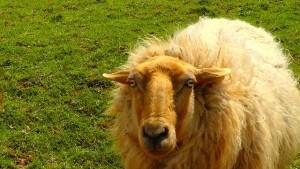 Schafe von Ewin Budding